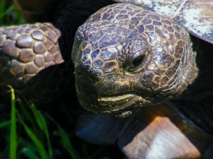 gopher-tortoise-212424_640