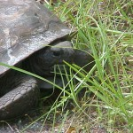 gopher tortoise 2